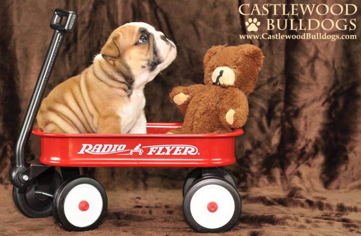 English Bulldog Breeder Castlewood Bulldogs
