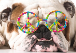 This is a photo of an English Bulldog with peace sign sunglasses