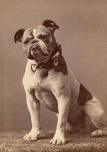 Bulldog: The Original Handsome Dan