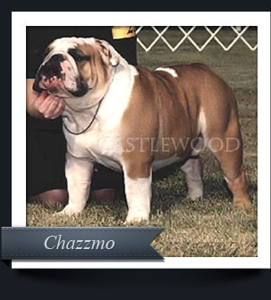 This is a photo of Chazmo champion bulldog from castlewood bulldogs
