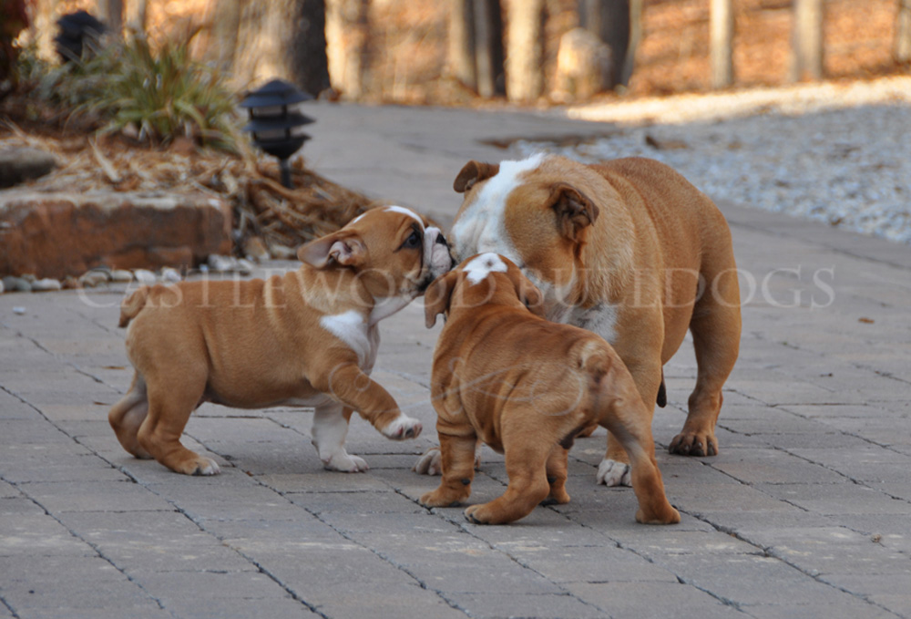 This is a photo of K.K.'s castlewood bulldogs mamm Last Litter of Two bulldog puppies males for sale