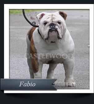 This is Fabio the English Bulldog