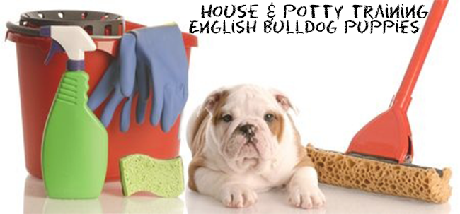 english bulldog training how to house train a english bulldog puppy the right way 3621