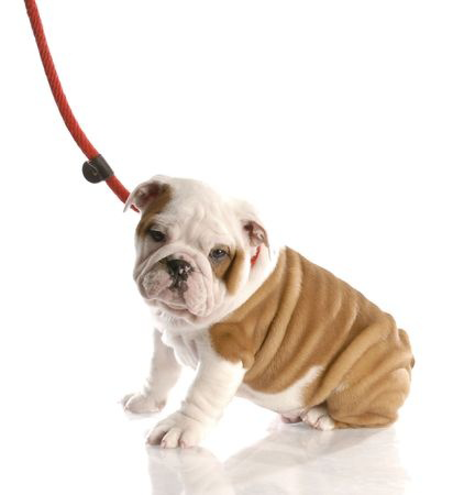 This is a photo of a English Bulldog Puppy on a leash