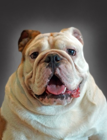 This is a photo of an aging and senior bulldog