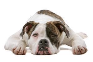 american bulldog laying down
