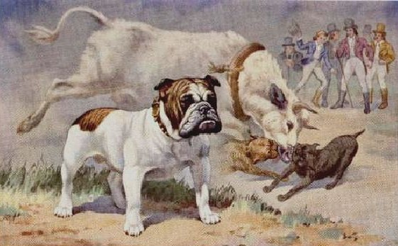 English Bulldogs Bred To