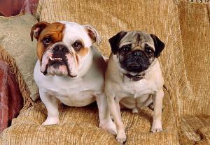 Bulldog with a Pug