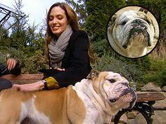 bulldog_brad_pitt_jacques