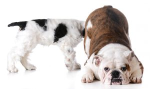 This is a bulldog farting