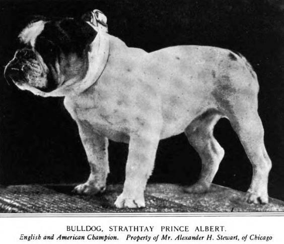 Westminster Bulldog Best In Show Winner 1913