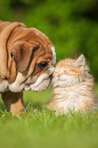 Bulldog Puppy with a Kitten