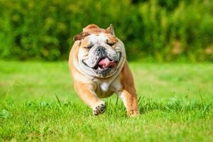This is a bulldog running
