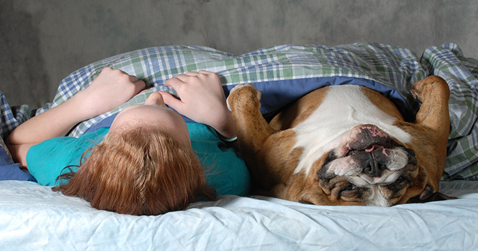 English Bulldog sleeping in bed with a little girl