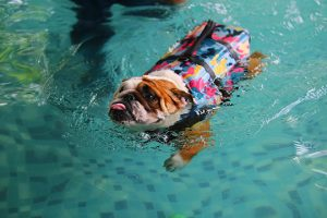 bulldog with a life jacket in a pool