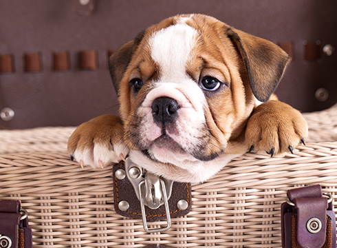 10 Most Por English Bulldog Names