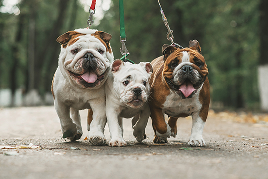 English Bulldogs & Exercise