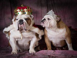 two bulldogs with crowns