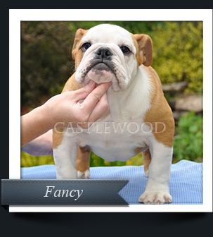 This is a photo of Fancy the English Bulldog